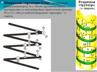 Вторичная структура белка - конформация полипептидной цепи, т.е. способ скруч
