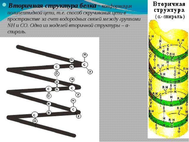 Вторичная структура белка - конформация полипептидной цепи, т.е. способ скруч...
