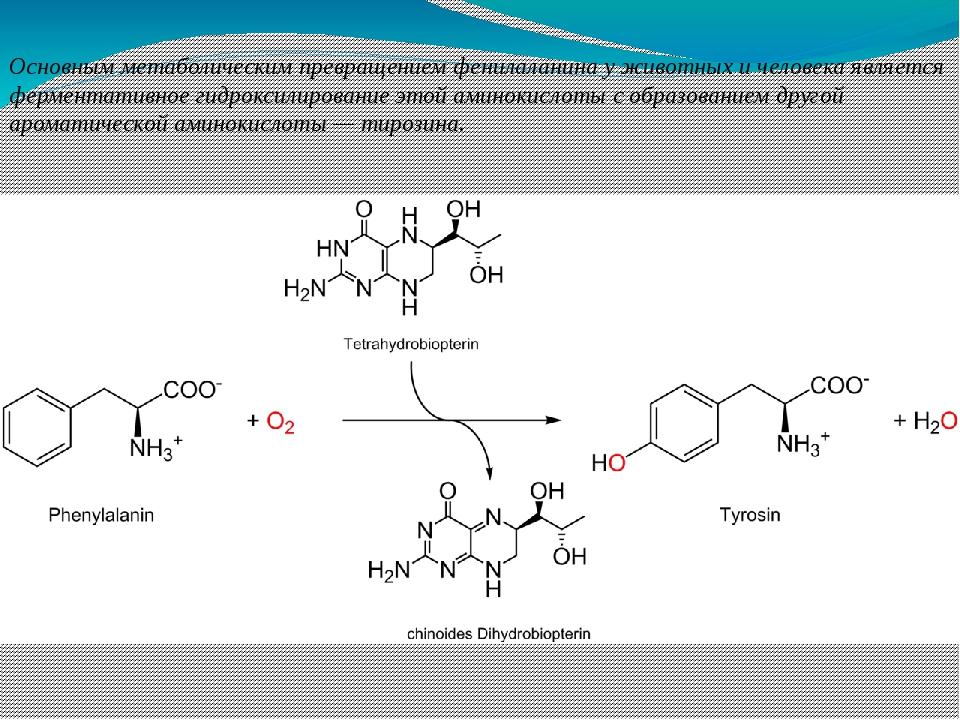 Основным метаболическим превращением фенилаланина у животных и человека являе...