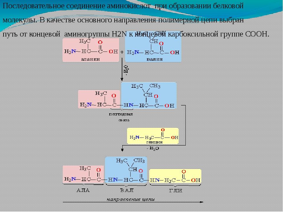 Последовательное соединение аминокислот при образовании белковой молекулы. В...