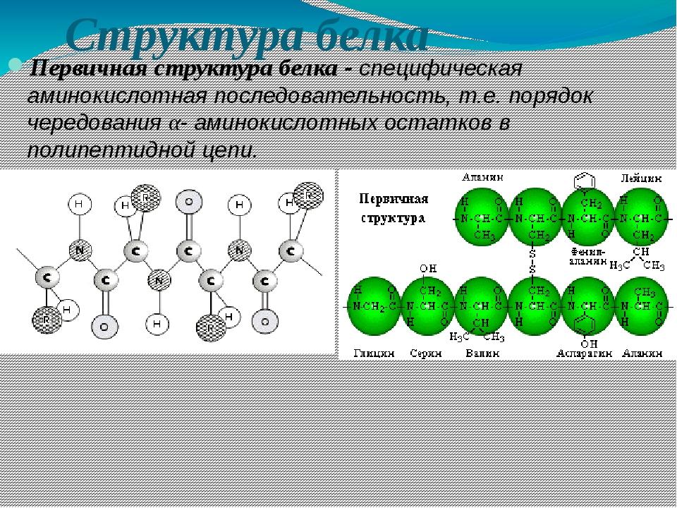Структура белка Первичная структура белка - специфическая аминокислотная посл...