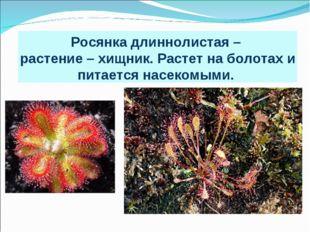 Росянка длиннолистая – растение – хищник. Растет на болотах и питается насеко