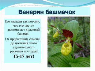 Венерин башмачок Его назвали так потому, что его цветок напоминает красивый б