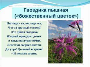 Гвоздика пышная («божественный цветок») Погляди - ка, погляди -ка, Что за кра
