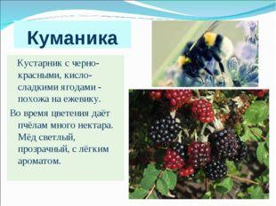 Куманика Кустарник с черно-красными, кисло-сладкими ягодами - похожа на ежеви