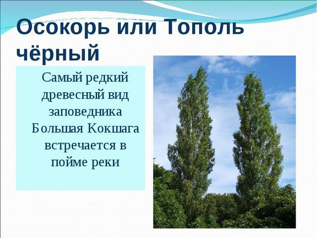 Осокорь или Тополь чёрный Самый редкий древесный вид заповедника Большая Кокш...