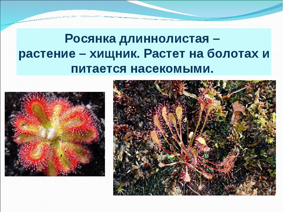 Росянка длиннолистая – растение – хищник. Растет на болотах и питается насеко...
