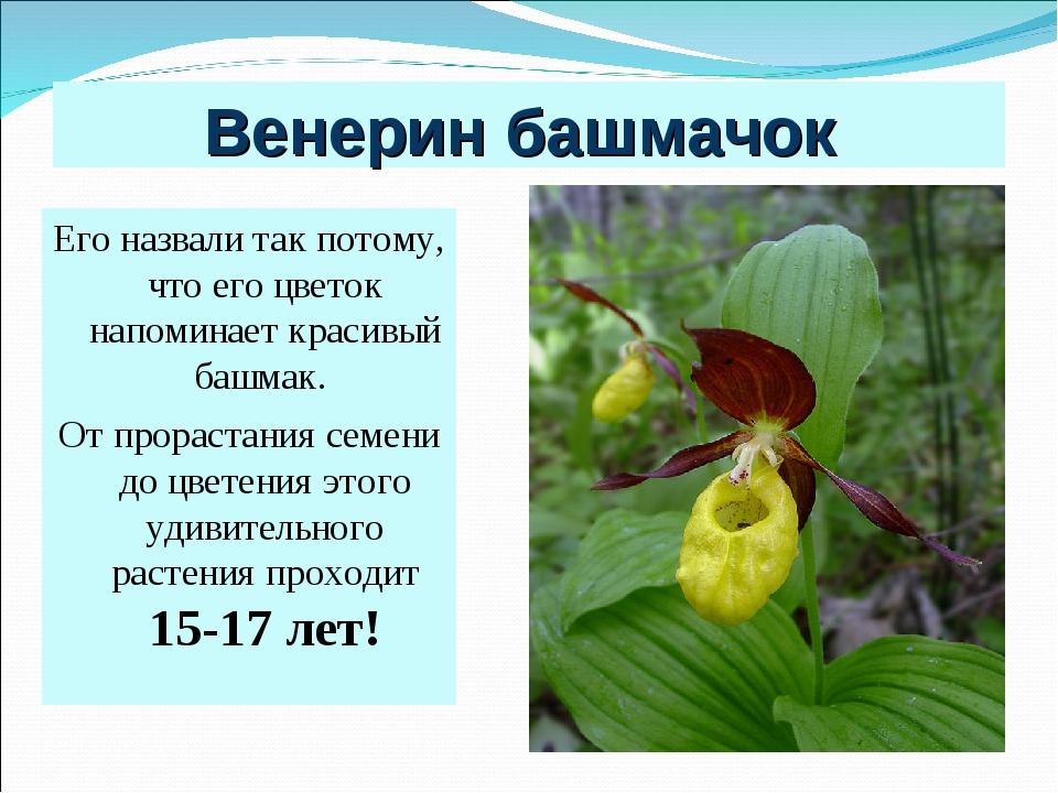 Венерин башмачок Его назвали так потому, что его цветок напоминает красивый б...