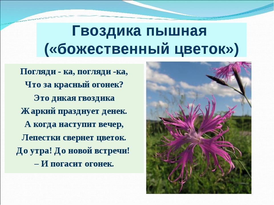 Гвоздика пышная («божественный цветок») Погляди - ка, погляди -ка, Что за кра...