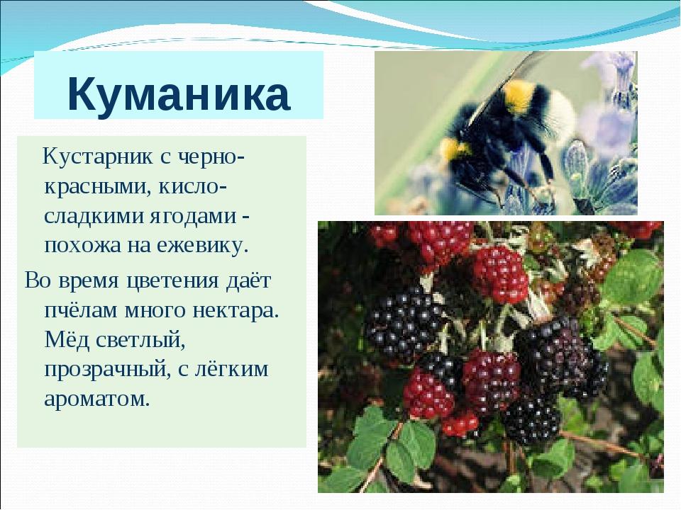Куманика Кустарник с черно-красными, кисло-сладкими ягодами - похожа на ежеви...