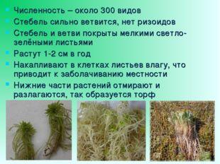 Численность – около 300 видов Стебель сильно ветвится, нет ризоидов Стебель и