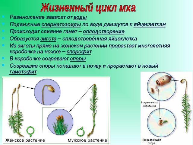 Размножение зависит от воды Подвижные сперматозоиды по воде движутся к яйцекл...