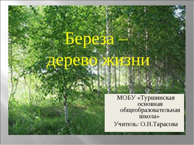 Береза – дерево жизни МОБУ «Туршинская основная общеобразовательная школа» Уч...