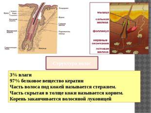 Структура волос 3% влаги 97% белковое вещество кератин Часть волоса под кожей