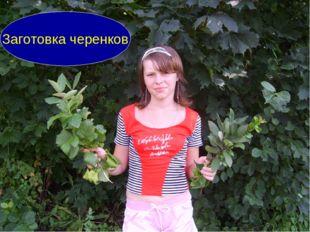 Заготовка черенков