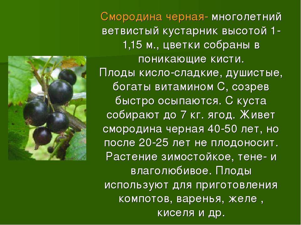 Смородина черная- многолетний ветвистый кустарник высотой 1-1,15 м., цветки с...