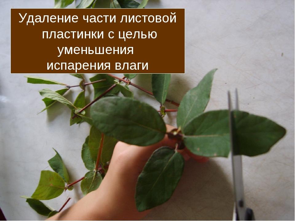 Удаление части листовой пластинки с целью уменьшения испарения влаги