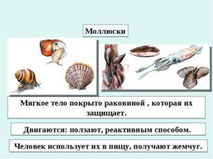 Моллюски Мягкое тело покрыто раковиной , которая их защищает. Двигаются: полз