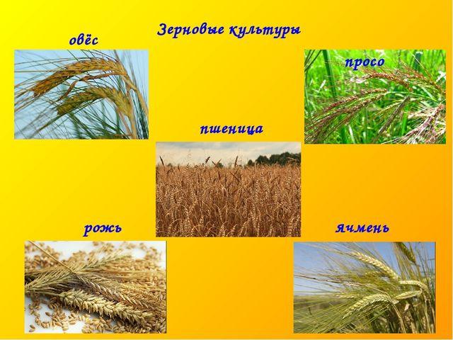 ячмень рожь пшеница овёс просо Зерновые культуры