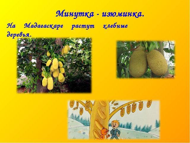 Минутка - изюминка. На Мадагаскаре растут хлебные деревья.