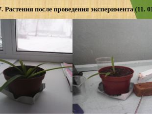 Фото 7. Растения после проведения эксперимента (11. 01. 16)