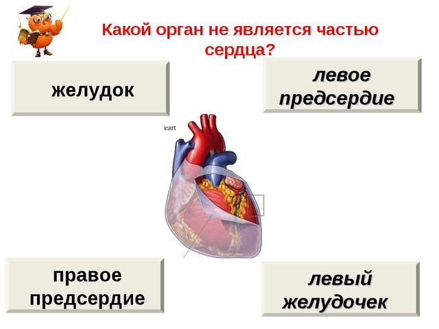 Какой орган не является частью сердца? желудок правое предсердие левое предсе...