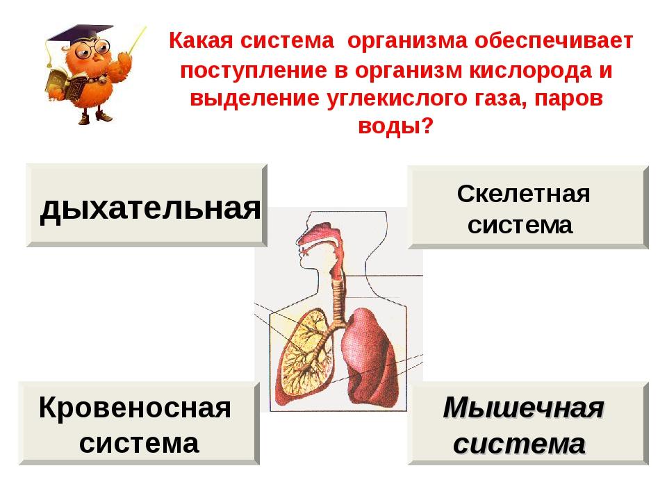 Какая система организма обеспечивает поступление в организм кислорода и выде...
