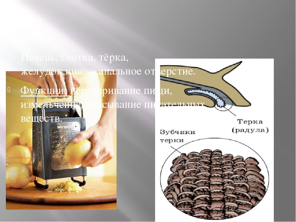 Органы: Печень, глотка, тёрка, желудок,кишка,анальное отверстие. Функции: пе...