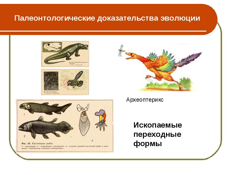 Палеонтологические доказательства эволюции Археоптерикс Ископаемые переходные...