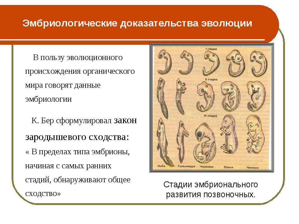 Эмбриологические доказательства эволюции В пользу эволюционного происхождения...