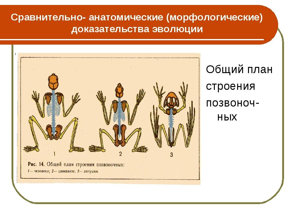 Сравнительно- анатомические (морфологические) доказательства эволюции Общий п...