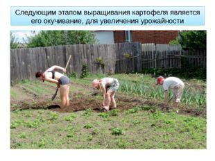 Следующим этапом выращивания картофеля является его окучивание, для увеличени