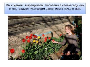 Мы с мамой выращиваем тюльпаны в своём саду, они очень радуют глаз своим цвет