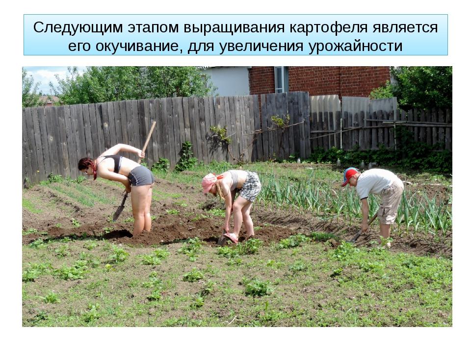 Следующим этапом выращивания картофеля является его окучивание, для увеличени...