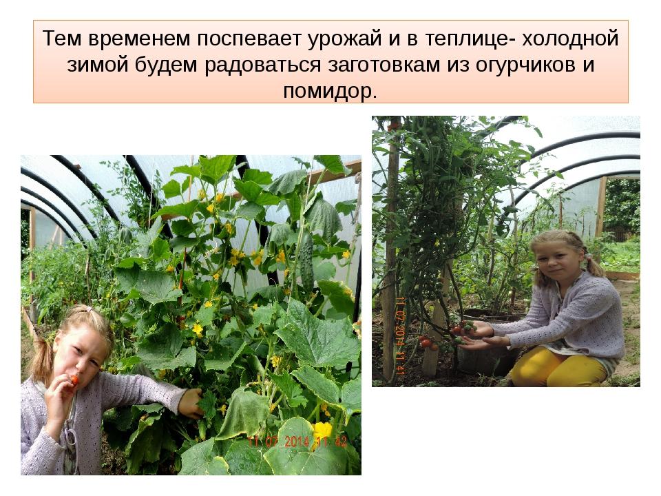Тем временем поспевает урожай и в теплице- холодной зимой будем радоваться за...