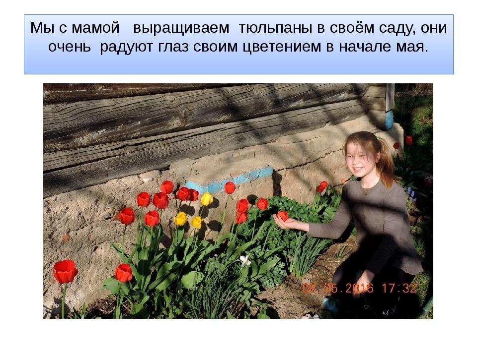 Мы с мамой выращиваем тюльпаны в своём саду, они очень радуют глаз своим цвет...