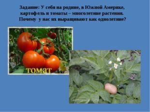 Задание: У себя на родине, в Южной Америке, картофель и томаты – многолетние