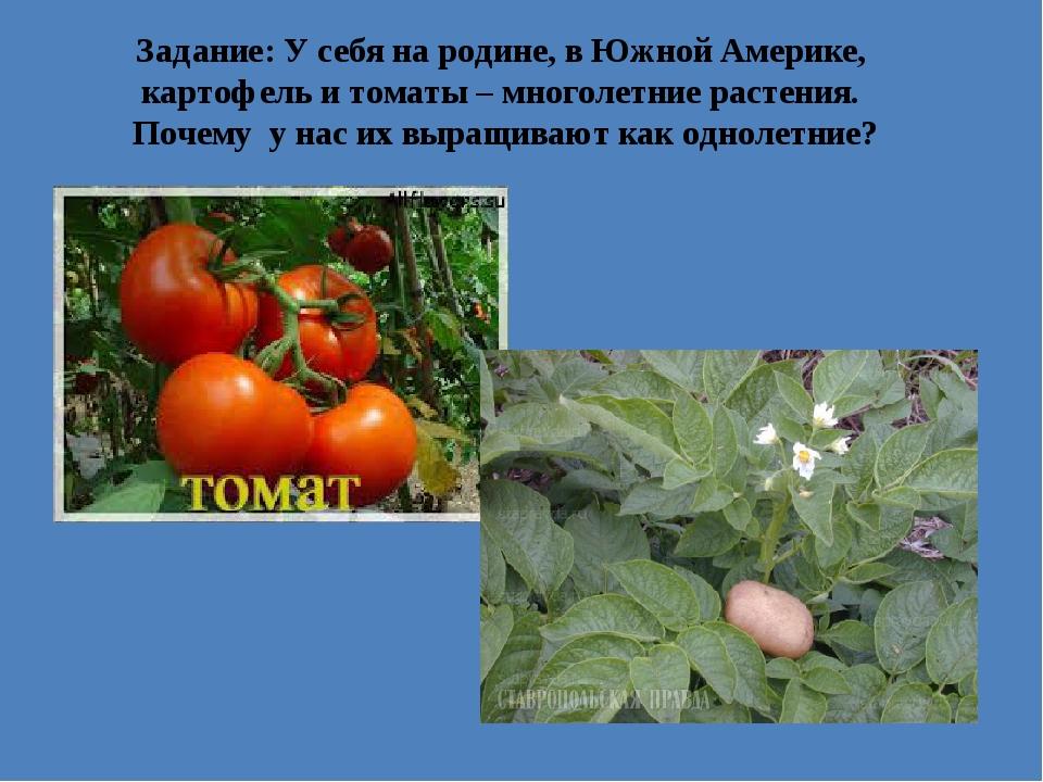 Задание: У себя на родине, в Южной Америке, картофель и томаты – многолетние...