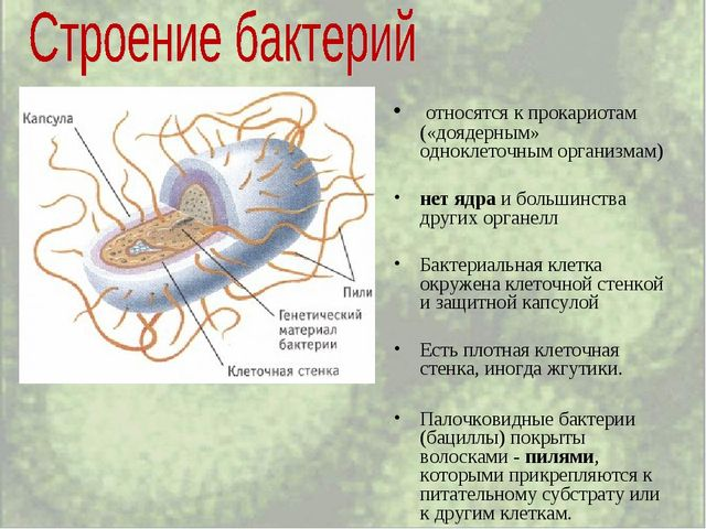 относятся к прокариотам («доядерным» одноклеточным организмам) нет ядра и бо...