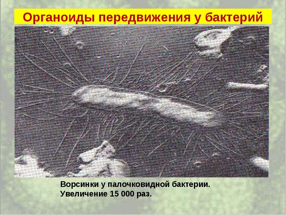Органоиды передвижения у бактерий Ворсинки у палочковидной бактерии. Увеличен...