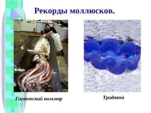 Рекорды моллюсков. Гигантский кальмар Тридакна