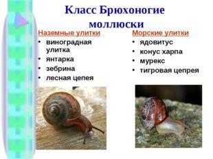 Класс Брюхоногие моллюски Наземные улитки виноградная улитка янтарка зебрина