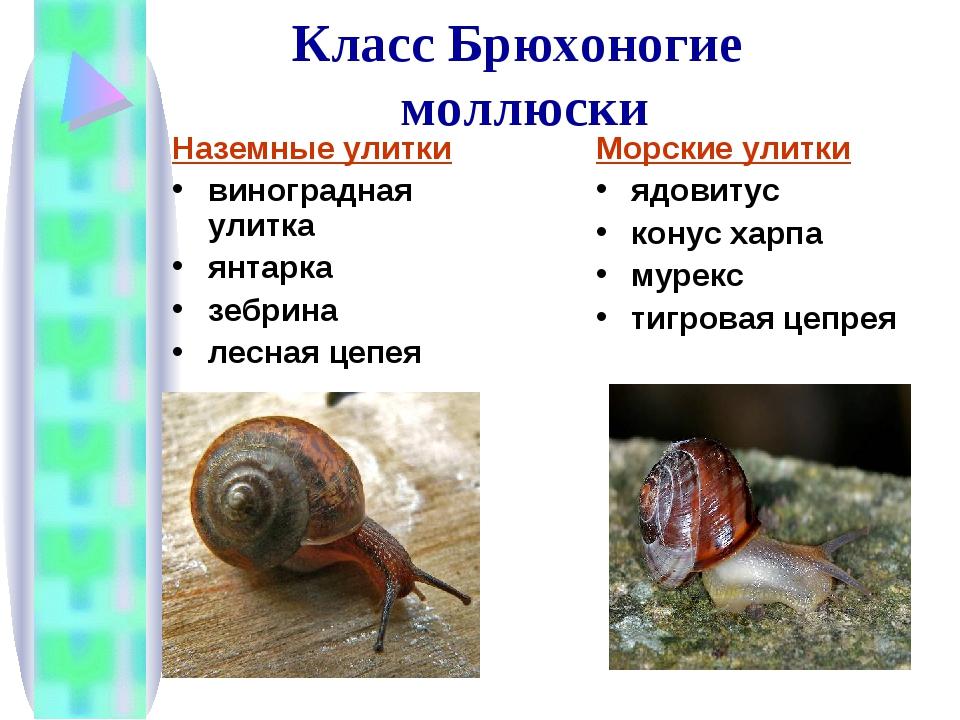 Моллюски класс брюхоногие картинки