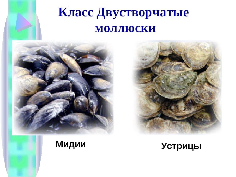 Мидии Устрицы Класс Двустворчатые моллюски