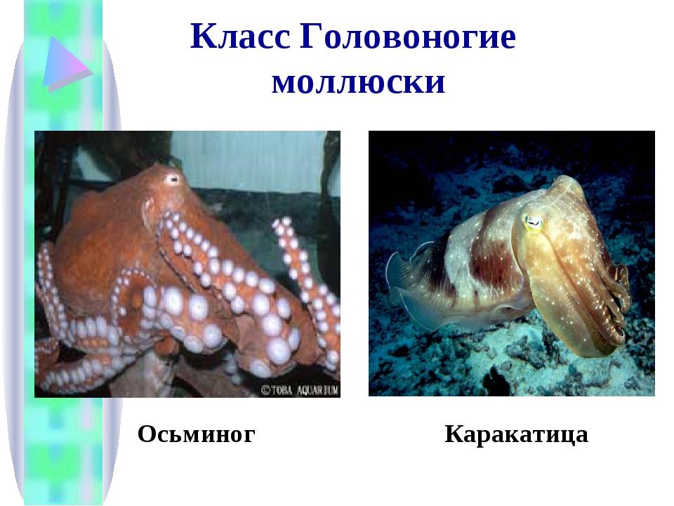Класс Головоногие моллюски Осьминог Каракатица