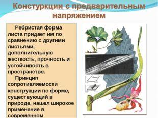 Ребристая форма листа придает им по сравнению с другими листьями, дополнител