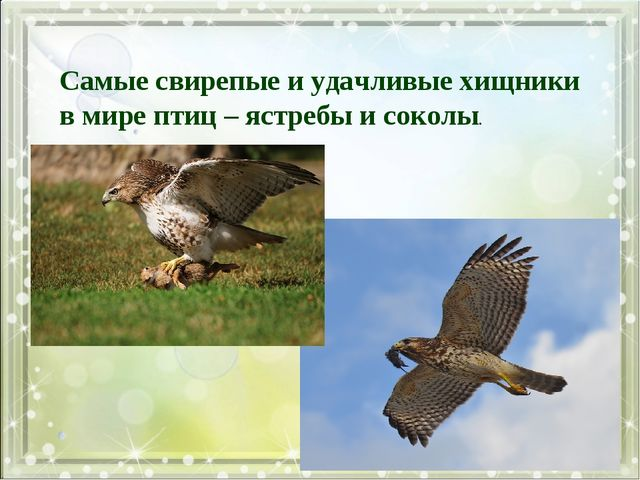 Самые свирепые и удачливые хищники в мире птиц – ястребы и соколы.
