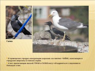 В приморских городах конкуренцию воронам составляют ЧАЙКИ, залетающие в горо