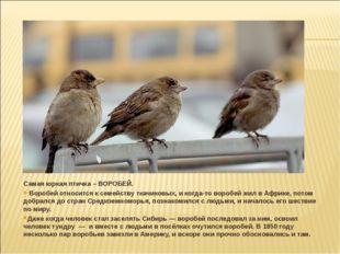 Самая юркая птичка – ВОРОБЕЙ. Воробей относится к семейству ткачиковых, и ког