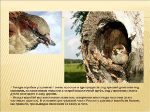 Гнезда воробьи устраивают очень простые и где придется: под крышей дома или